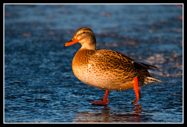 Afternoon Mallard... on Ice