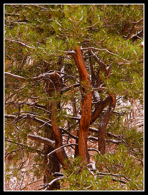 Diverging Ponderosa Pine, Thomas Creek Trail